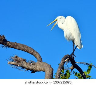 Great Egret, Or Great White Heron (Ardea alba), perched on a dead tree branch, against a clear blue sky.