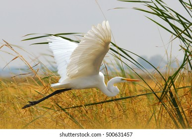 Great Egret (White Heron) Flying in the Grass