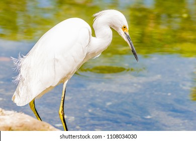 The great egret/ great white egret/ white heron/ great white heron/ large egret/ common egret is an appx. 3 feet tall common bird with a wingspan of almost five feet and entirely white feathers.