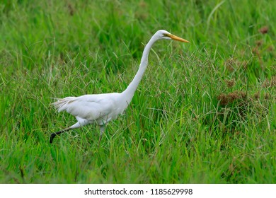 The great egret/ great white egret/ white heron/ great white heron/ large egret/ common egret (Ardea alba) stalking a fish.