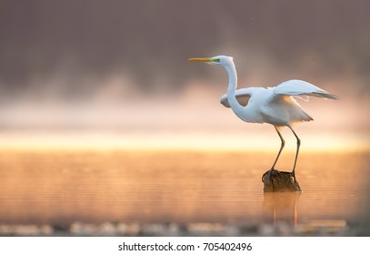 Great Egret White heron in the morning in a mist by the lake.  sunrise.Europe,Poland