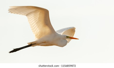 Great Egret(Ardea alba)) in flight against white background, Podlasie Region, Poland, Europe