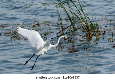 Great Egret(Ardea alba)) in flight against water, Podlasie Region, Poland, Europe