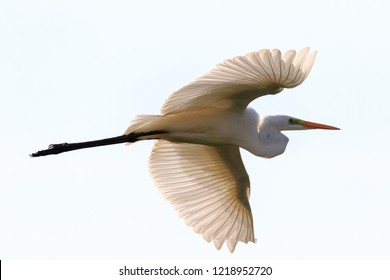 Great Egret(Ardea alba)) in flight against white bacground, Podlasie Region, Poland, Europe