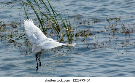 Great Egret(Ardea alba) in flight against water, Podlasie Region, Poland, Europe