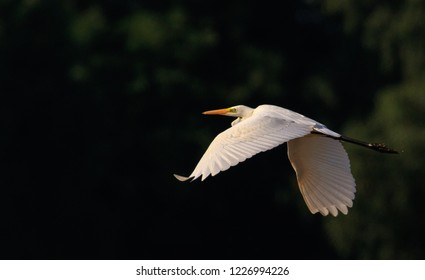 Great Egret(Ardea alba) in flight against dark background, Podlasie Region, Poland, Europe