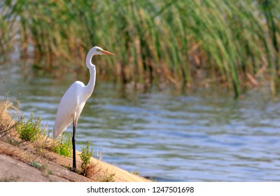 Great Egret(Ardea alba) standing against water and reed, Podlasie Region, Poland, Europe