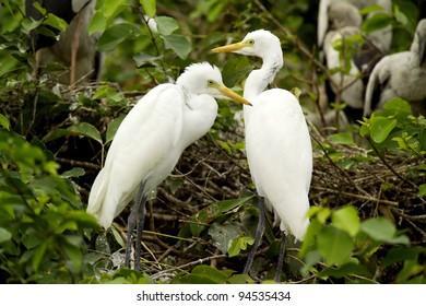 Great Egrets (Ardea alba), also known as Great White Egret, Common Egret, or Great White Heron