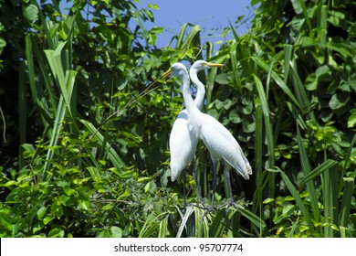 Great Egrets (Ardea alba), also known as Great White Egret, Common Egret, or Great White Herons