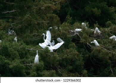 Great Egrets (Ardea alba) nesting in Redwoods, Audubon Canyon Ranch, California, USA