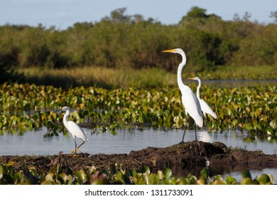 Great Egrets, Egretta alba, and Snowy Egret, Egretta garzetta, standing in a river in the Pantanal, Brazil