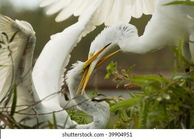 Great Egrets Fighting (Ardea alba)