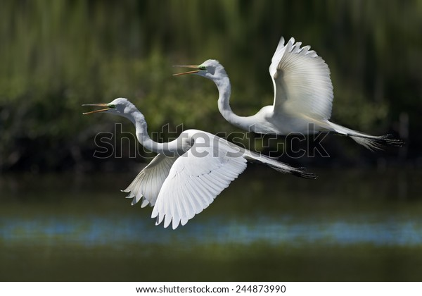 Great Egrets in flight. Latin name - Ardea alba.