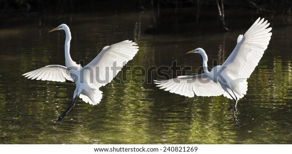 great-egrets-landing-latin-name-600w-240