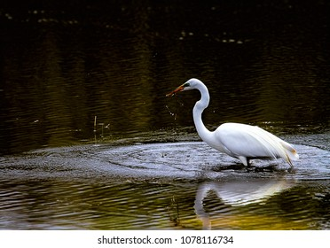 Great egrets swimming in the wetlands looking for food