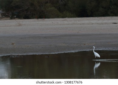 Great egret,White Egret wading in the lake and hunting,The little egret is a species of small heron in the family Ardeidae,Intermediate egret