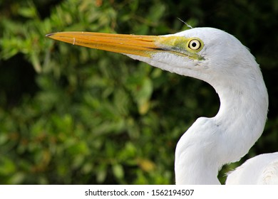 The great erget is a large heron with all-white plumage and long yellow beautiful bill