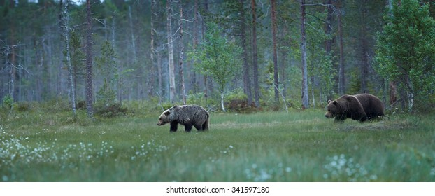 Great female brown bear follow the female in the Finnish taiga during the rut