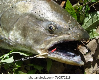 Great fishing trophy: chinook (king salmon)