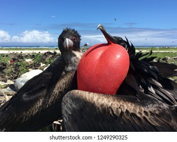 A great frigate bird pair on their nest on a sunny day in Hawaii. The male's red gular sac is accentuated by the bright blue sky and dark feathers.