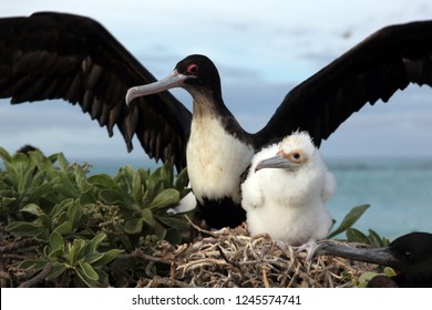 A great frigate bird parent and chick share an intimate moment on their nest near the beach in Hawaii.