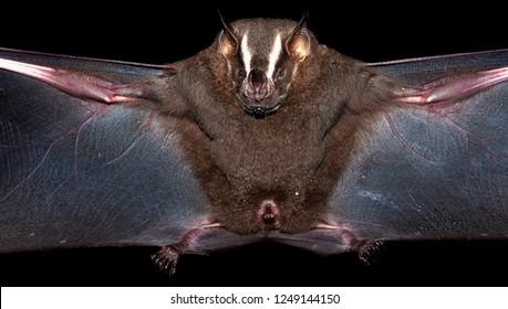 great fruit-eating bat (Artibeus lituratus)