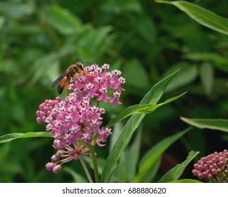 Great Golden Digger Wasp