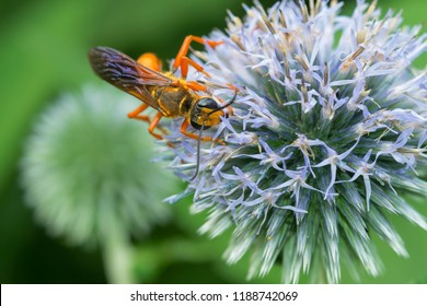 Great Golden Digger Wasp collecting nectar from a round, lite blue flower. Rosetta McClain Gardens, Toronto, Ontario, Canada.