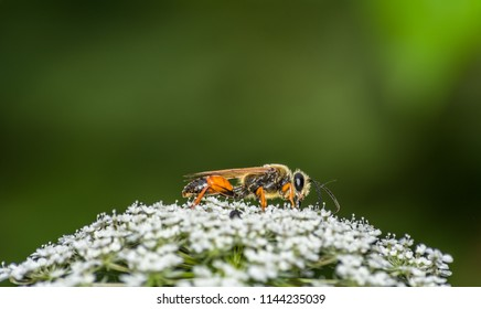 Great golden digger wasp (Sphex ichneumoneus) on white flowers of Queen Anne's lace aka wild carrot (Daucus carota) with a blurred green background in summer at Magnuson Park, Seattle.
