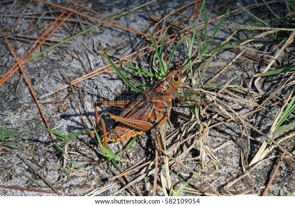 A great grasshopper in florida