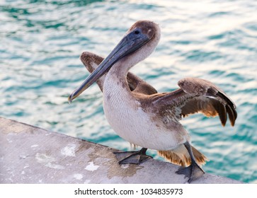 Great gray or eastern gray pelican, rosy pelican or gray pelican is a bird in the pelican family.It breeds from southeastern Europe through Asia and in Africa in swamps and shallow lakes.