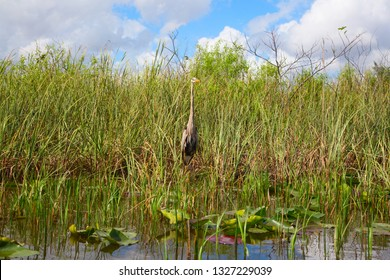 Great gray heron hiding in the graa of Everglades national park