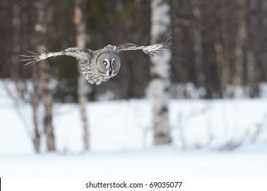 Great Gray Owl flying between birch trees