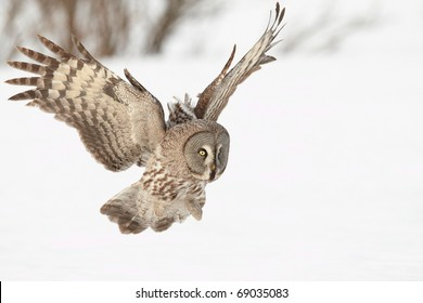 Great Gray Owl landing to catch a mouse