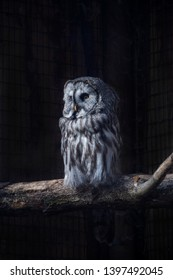 Great Gray Owl on a tree trunk in front of black background