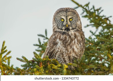 A Great Gray Owl perched in a Spruce Tree. Whitby, Ontario, Canada.