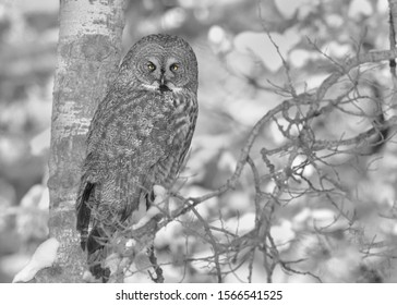 Great Gray Owl in the snow