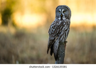 The Great Gray Owl (Strix nebulosa) perching with the morning sun lighting the background