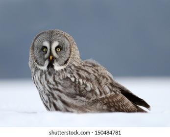 Great Gray Owl (Strix nebulosa) Pustik bradaty