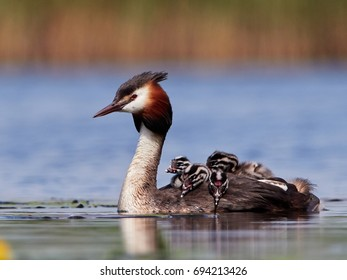 great grebe with chicks on the lake (podiceps cristatus)