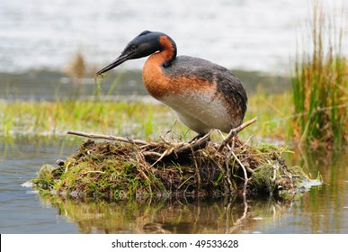 A Great Grebe on its nest - Tierra Del Fuego, Argentina.