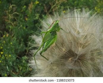Great green bush-cricket (Tettigonia viridissima) crawling on meadow salsify seed head