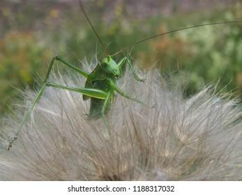 Great green bush-cricket (Tettigonia viridissima) sitting on meadow salsify seed head