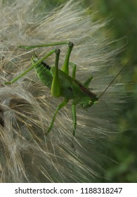 Great green bush-cricket (Tettigonia viridissima) sitting on meadow salsify seed head. Close up, vertical orientation