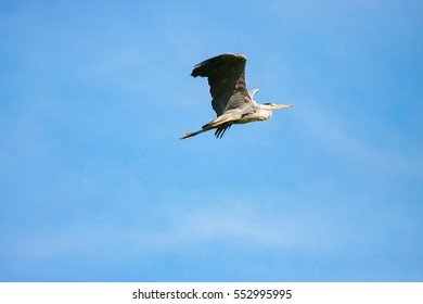 Great Grey Heron (ardea cinerea) during flight in sky