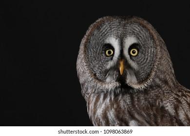 Great Grey Owl - against black background