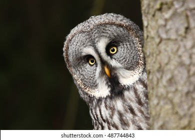Great Grey Owl (also tawny vulture, Science. Strix nebulosa) is a large owl family of owls.