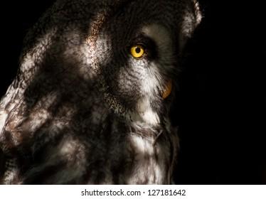 Great Grey Owl in the dark