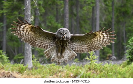 Great grey owl in flight in forest landscape. Owl in flight.