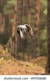 Great Grey Owl is flying